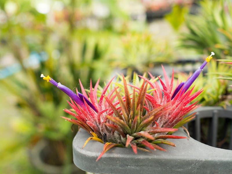 Inflorescencia roja de Aechmea Fasciata de la planta con la flor violeta púrpura floreciente con el fondo verde fotos de archivo libres de regalías