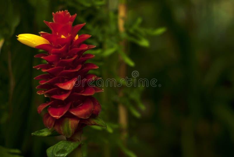 Inflorescencia roja hermosa con la flor amarilla del comosus de Costus fotos de archivo libres de regalías