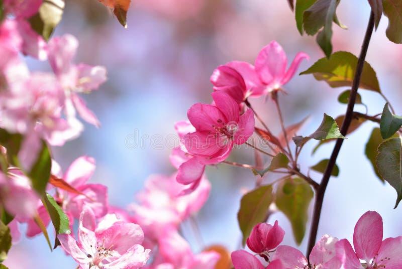 Inflorescencia rosada brillante de las flores de la primavera de un árbol frutal - Apple-árbol decorativo del jardín foto de archivo libre de regalías