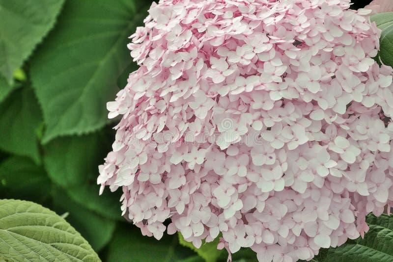 Inflorescencia rosada de la hortensia en cierre del jardín del verano para arriba imagen de archivo libre de regalías