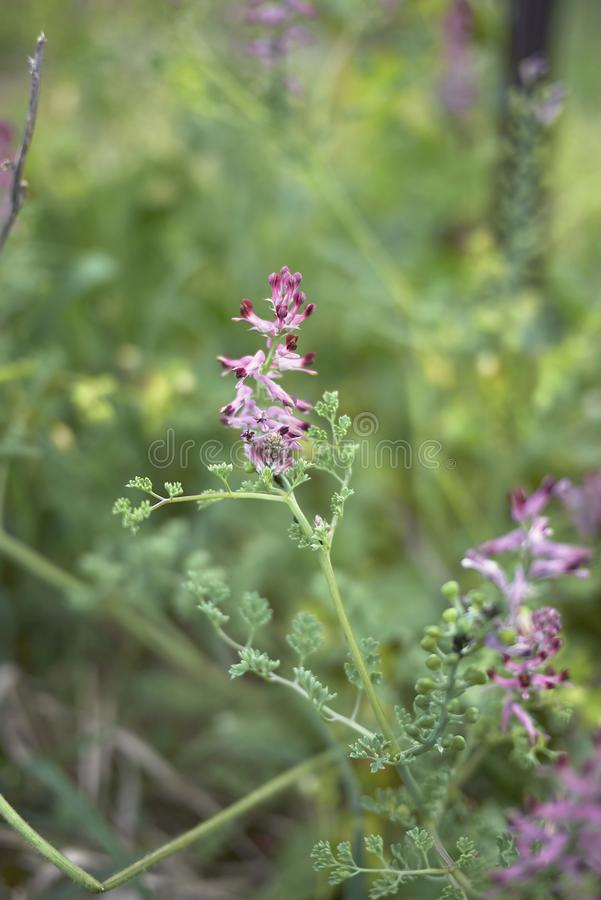 Inflorescencia rosada y roja de los officinalis del Fumaria imágenes de archivo libres de regalías