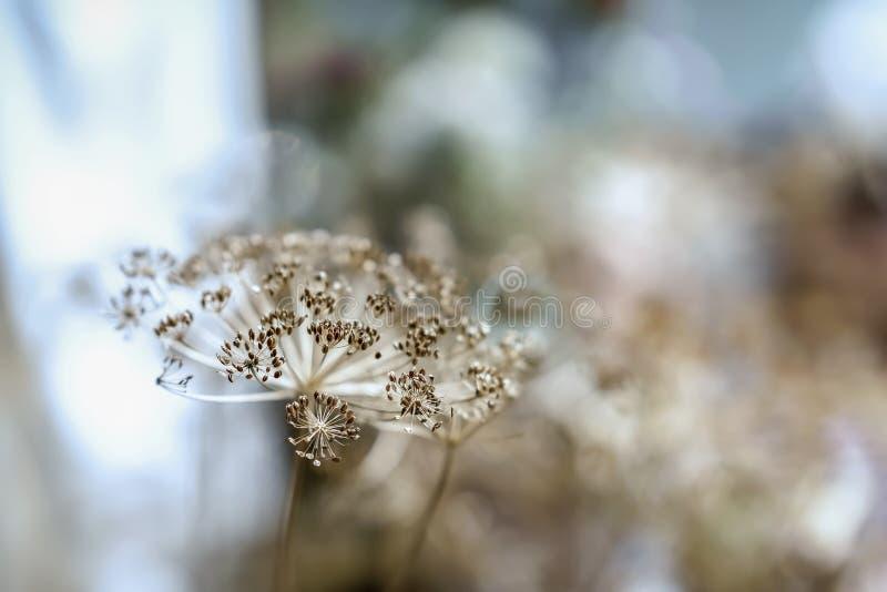 Inflorescencia umbelífera seca decorativa, foco suave selectivo Otoño y cultivo, luz borrosa fotografía de archivo