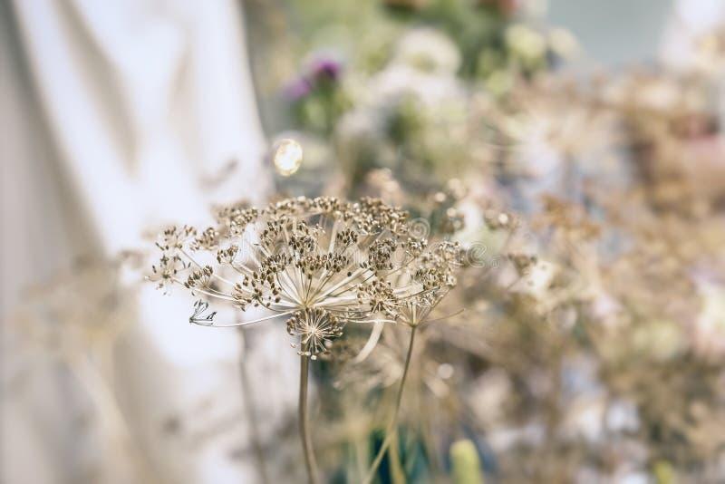 Inflorescencia umbelífera seca decorativa, foco suave selectivo Otoño y cultivo, luz borrosa con el bokeh foto de archivo