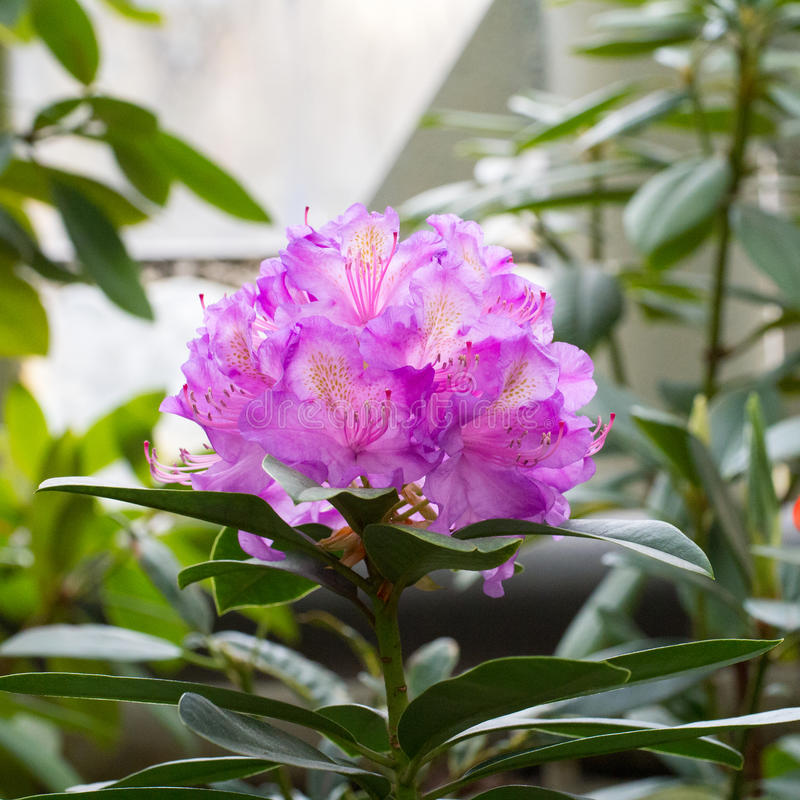 Inflorescencia una flor púrpura preciosa de un rododendro que están situadas en los extremos de lanzamientos imagenes de archivo