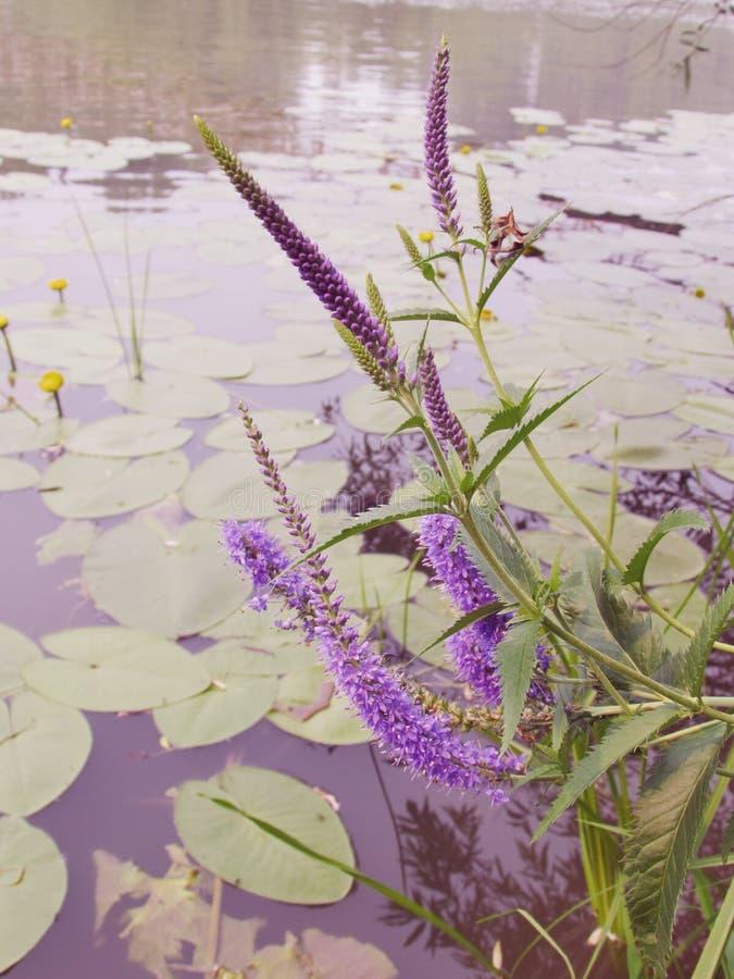 Inflorescencias florecientes púrpuras del speedwell claveteado en el fondo del lago con los lirios de agua amarilla florecientes fotografía de archivo