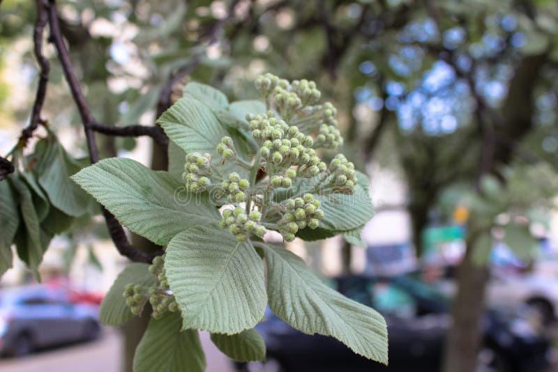 Inflorescenza dei germogli e delle foglie verdi della castagna fotografia stock libera da diritti