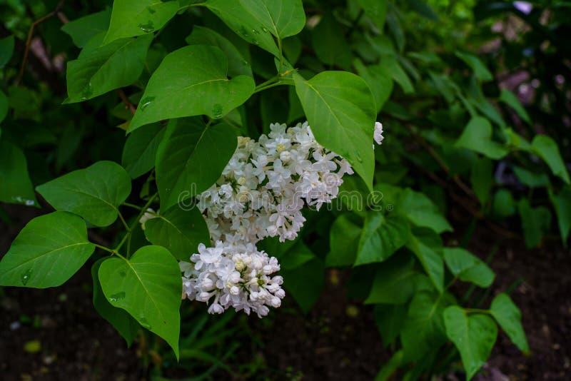 Inflorescenza del lillà bianco sotto le foglie verdi nel giardino immagini stock