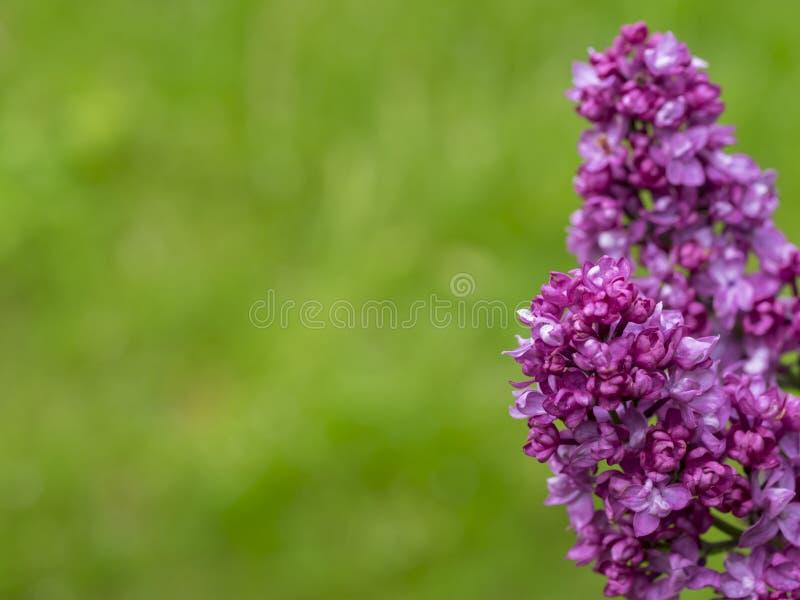 Inflorescenza del lillà su un fondo verde immagini stock libere da diritti