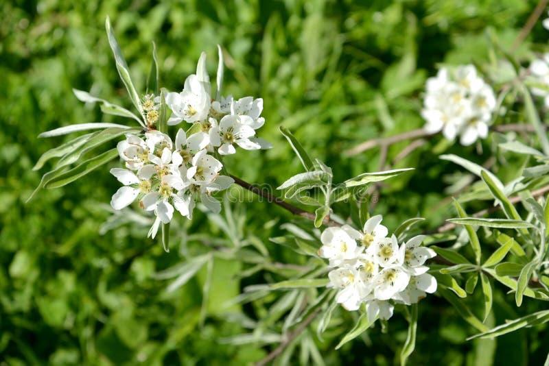 Inflorescenza del salicifolia f del Pyrus della pera della salice-foglia pendula Sorgente immagine stock