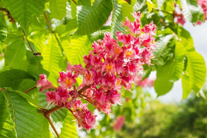 Inflorescenza dell'ippocastano rosso contro delle foglie fotografia stock libera da diritti