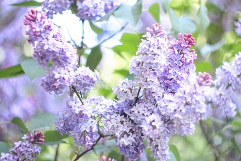 Inflorescenza della primavera del lillà porpora su un fondo verde immagine stock libera da diritti