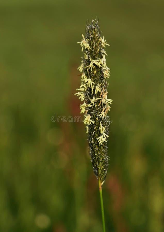 Inflorescenza di erba con coregone lavarello immagine stock