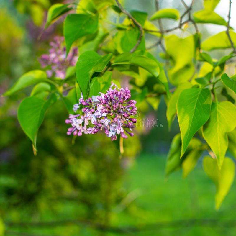 Inflorescenza di fioritura dei fiori lilla sui precedenti del giardino nella sera Bandiera di Web immagini stock