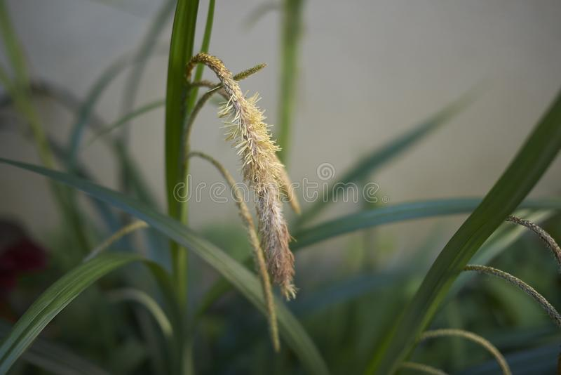 Inflorescenza di pendula del Carex fotografia stock libera da diritti