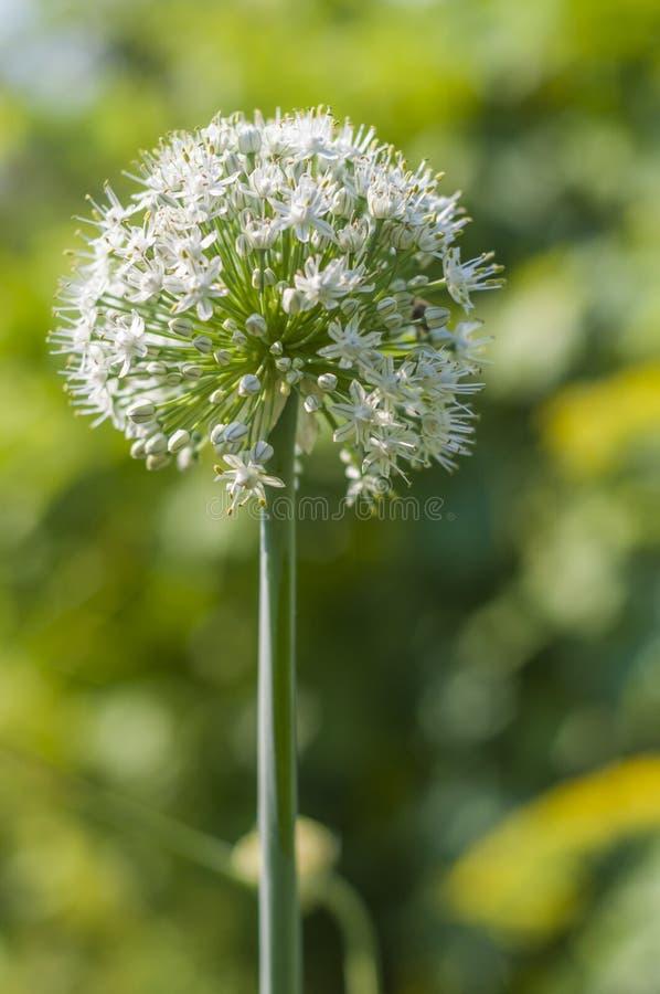 Inflorescenza lanuginosa della cipolla fotografia stock
