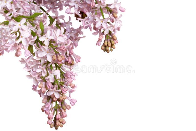 Inflorescenza lilla immagini stock libere da diritti