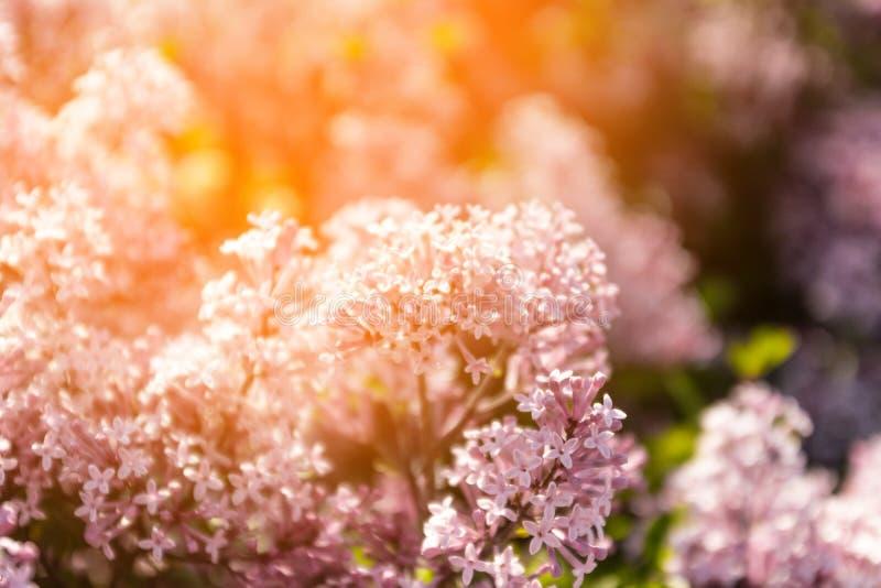 Inflorescenza lilla nel giardino di primavera Bellezza magnifica della natura immagine stock libera da diritti
