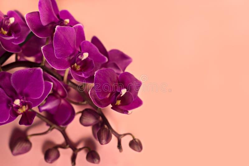 Inflorescenza porpora porpora del primo piano di phalaenopsis su un fondo rosa fotografia stock
