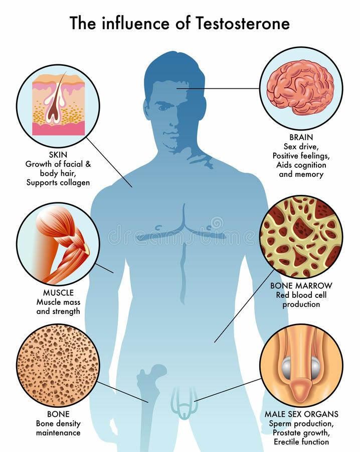 Influence of testosterone in the body. Medical illustration of the influence of testosterone in different parts of the male body stock illustration