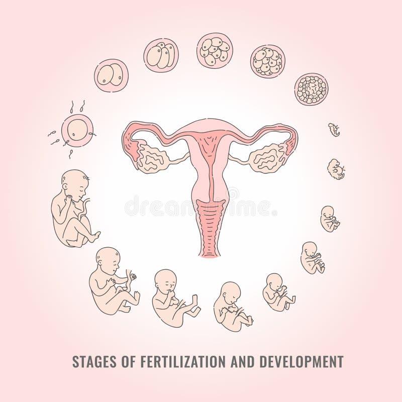Infographic des étapes de grossesse avec le processus de la fertilisation et du développement de l'embryon illustration de vecteur