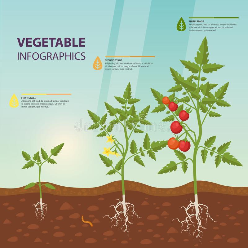 Tomato infographic for growing stages. royalty free illustration