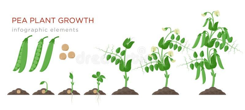 Infographic Elemente der Erbsenpflanzenwachstums-Stadien im flachen Entwurf Pflanzender Prozess von Erbsen von den Samen keimen z lizenzfreie abbildung