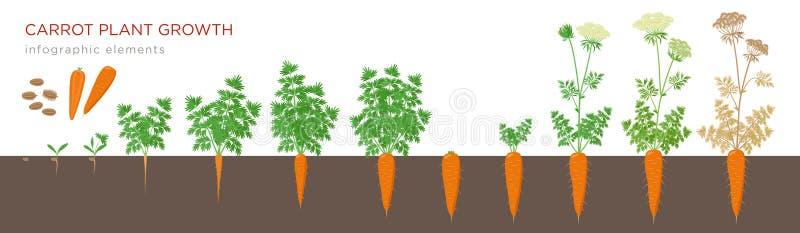 Infographic Elemente der Karottenpflanzenwachstums-Stadien Wachsender Prozess der Karotte von den Samen, Sprössling, zum der Pfah stock abbildung