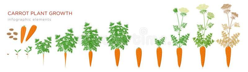 Infographic Elemente der Karottenpflanzenwachstums-Stadien Wachsender Prozess der Karotte von den Samen, Spr?ssling, zum der Pfah lizenzfreie abbildung