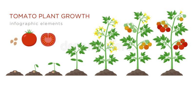 Infographic Elemente der Tomatenpflanzenwachstums-Stadien im flachen Entwurf Pflanzender Prozess der Tomate von den Samen keimen  vektor abbildung