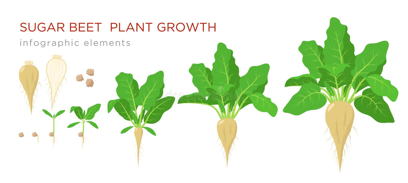 Infographic Elemente der Zuckerrübenfabrikwachstums-Stadien Wachsender Prozess der Zuckerrübe von den Samen, Sprössling zur reife stock abbildung