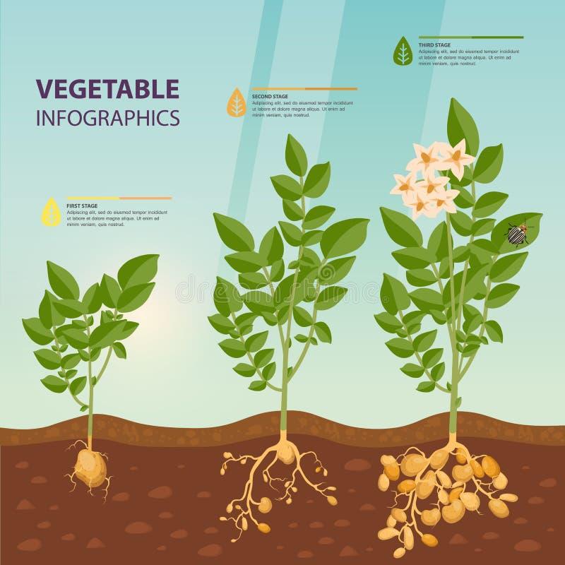 Infographic of infochart van de stadia van de aardappelgroei vector illustratie