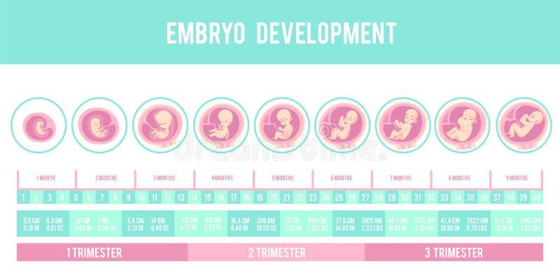 Infographic med etapper av havandeskap och embryot, fosterutveckling royaltyfri illustrationer