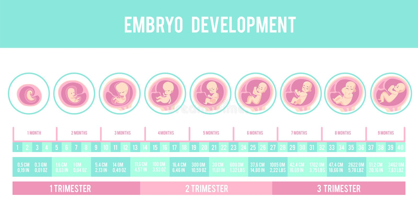 Infographic with stages of pregnancy and embryo, fetus development. royalty free illustration