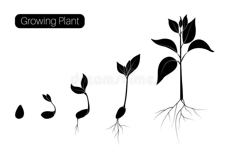 Infographic växttillväxtfaser Begrepp för evolutiongroendeframsteg Kärna ur bönan, spira organiskt jordbruk vektor illustrationer