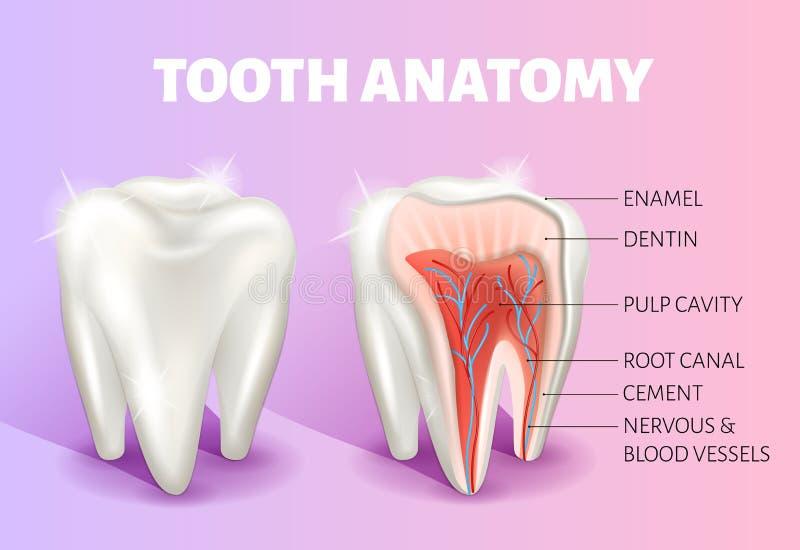 Infographics ανατομίας δοντιών Ρεαλιστική τρισδιάστατη διανυσματική ιατρική έμβλημα ή αφίσα απεικόνιση αποθεμάτων