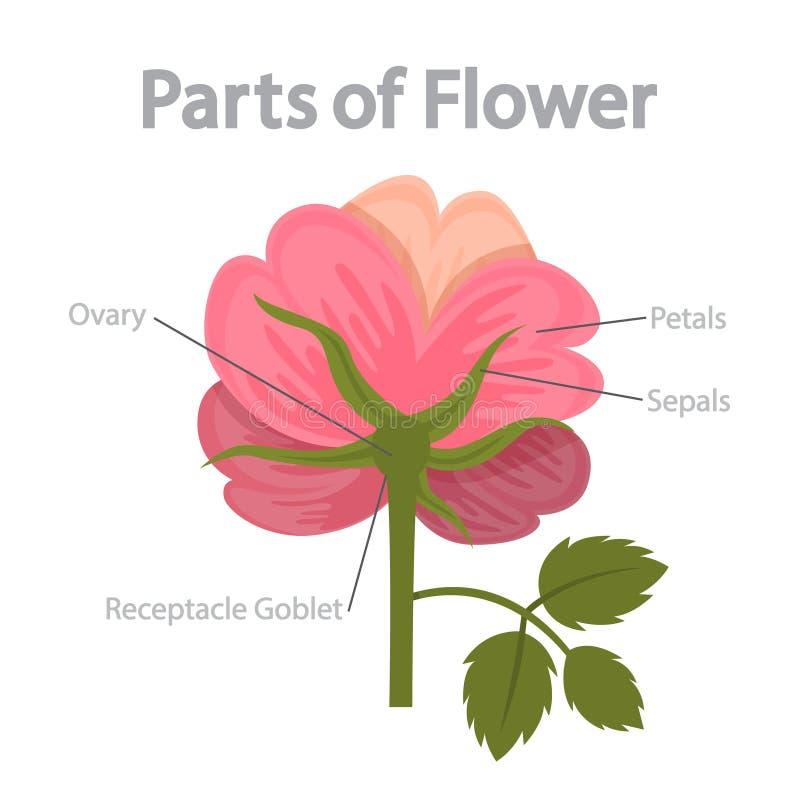 Infographics части цветка Концепция биологии и образования иллюстрация штока