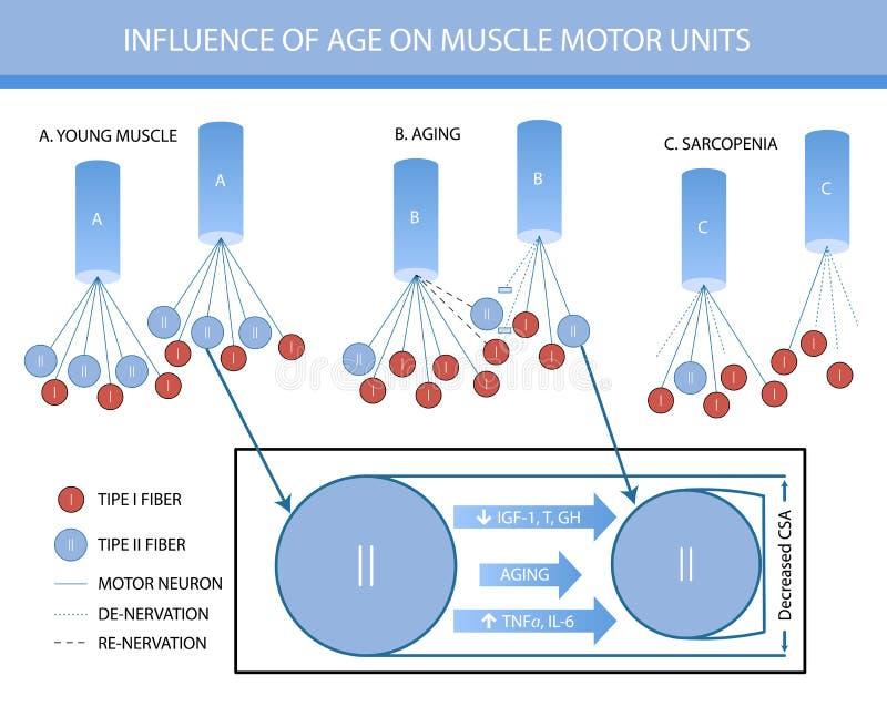 Infographics: in fluence van leeftijd op de eenheden van de spiermotor royalty-vrije illustratie