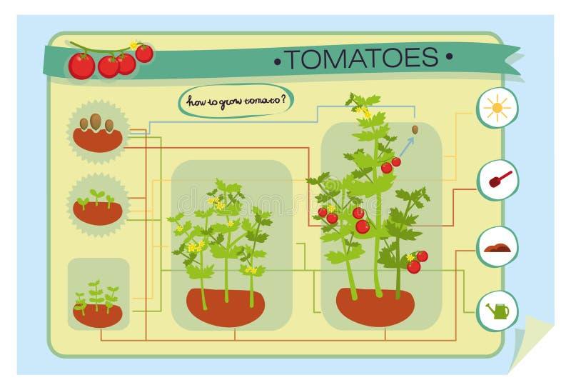 Infographics het groeien tomaat royalty-vrije stock afbeeldingen