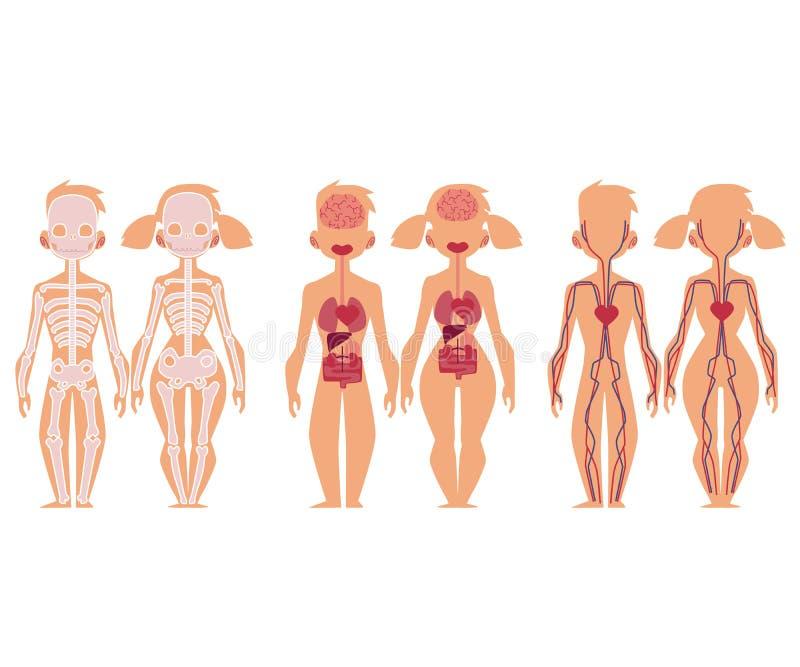 Infographics, homem e mulher humanos da carta da anatomia ilustração royalty free