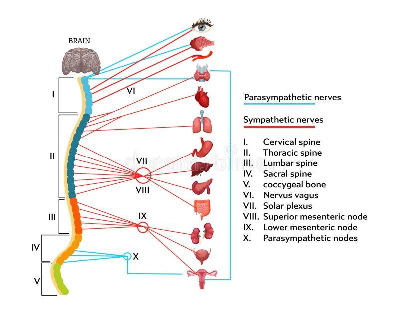 Infographicsregeling van anatomische structuur van menselijk zenuwstelsel stock illustratie