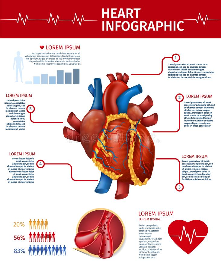 Informação realística da anatomia da bandeira de Infographic do coração ilustração stock