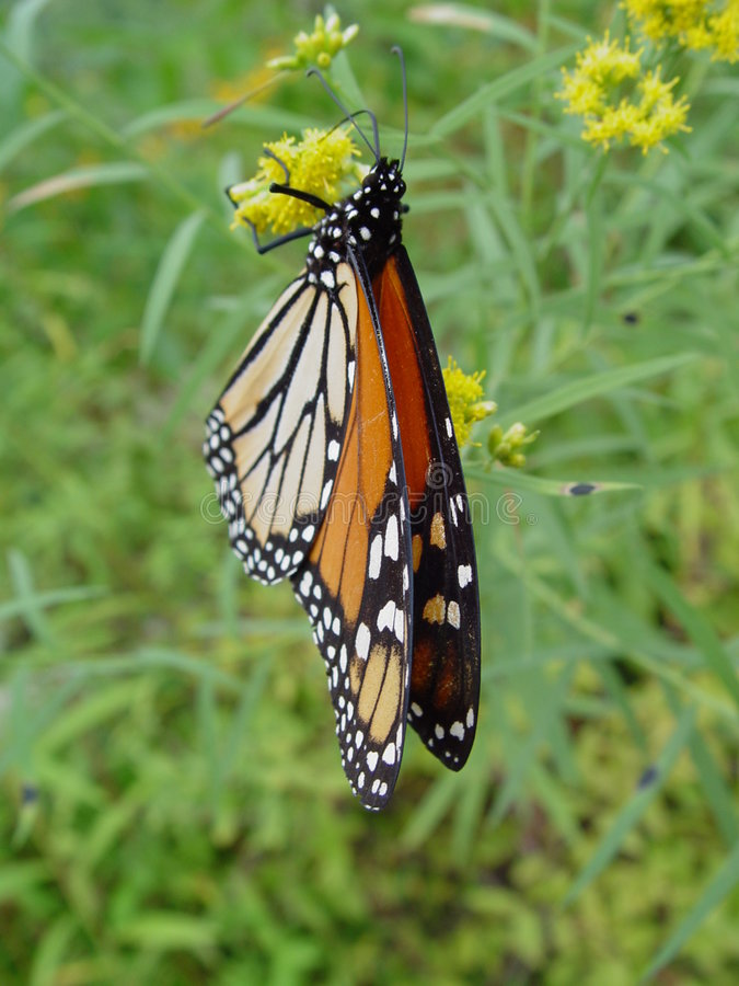 Download Informal Dining stock photo. Image of grass, monarch, butterfly - 82140