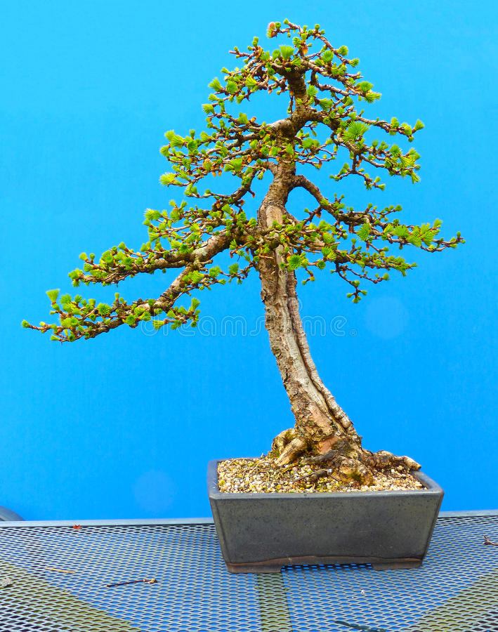An informal upright Japanese Larch bonsai in training by a Northern Ireland enthusiast. In a deep semi-glazed rectangular pot stock photography
