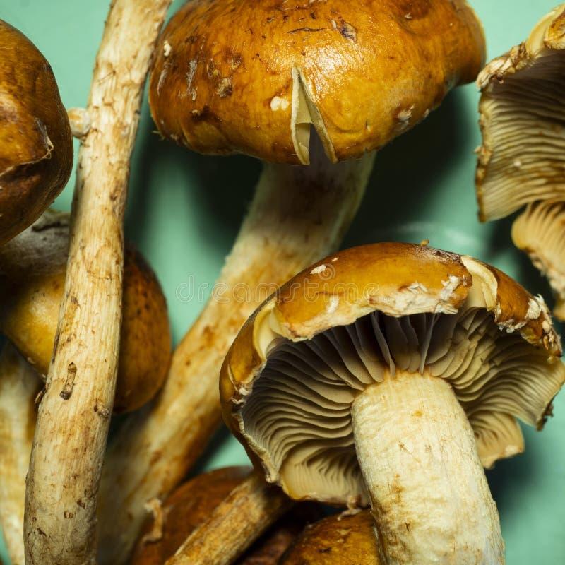 Information om kanel Cap Mushroom royaltyfria bilder