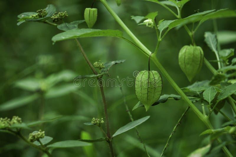 Information om näring om Rasbhari, uddekrusbär eller guld- bär, guld- Berry Medicinal Plant arkivbild