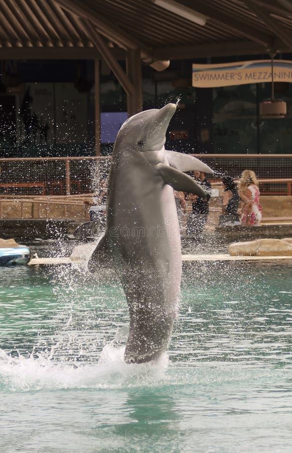 Infractions d'un dauphin de Bottlenosed chez Dolphinaris, Arizona photographie stock