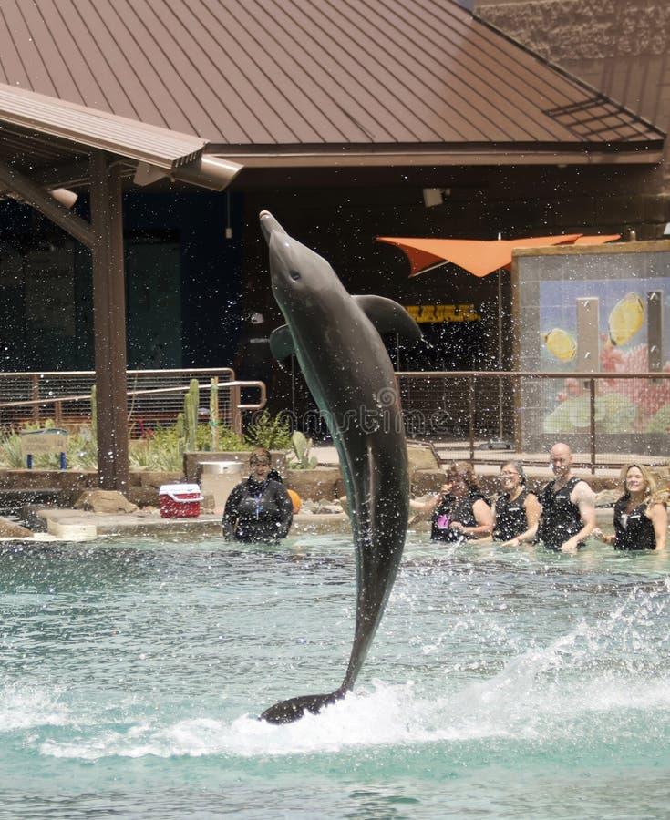 Infractions d'un dauphin pour des visiteurs chez Dolphinaris, Arizona image stock