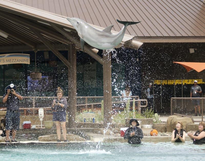 Infractions d'un dauphin pour des visiteurs et des photographes chez Dolphinaris photo libre de droits