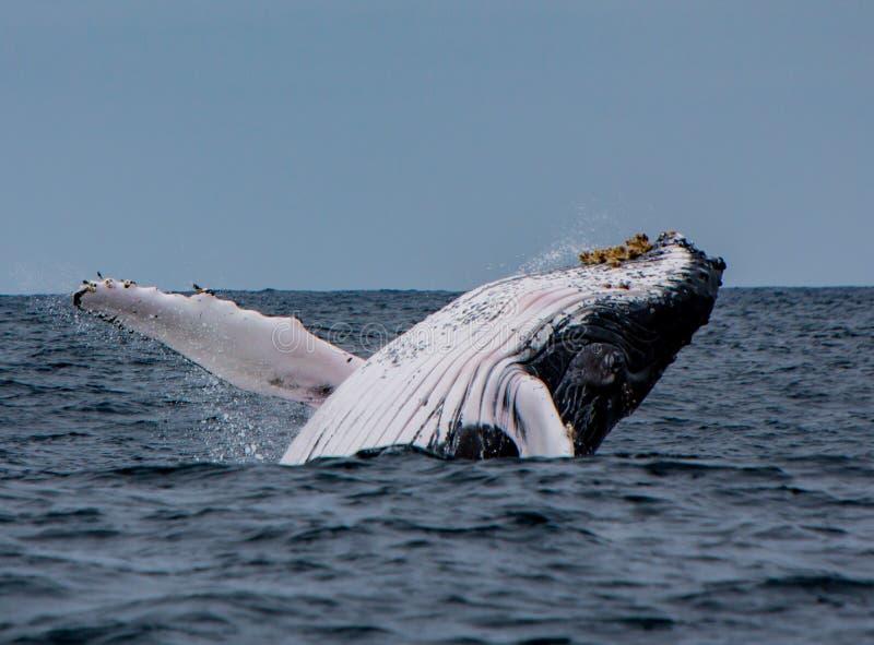 Infractions de baleine de bosse photos libres de droits