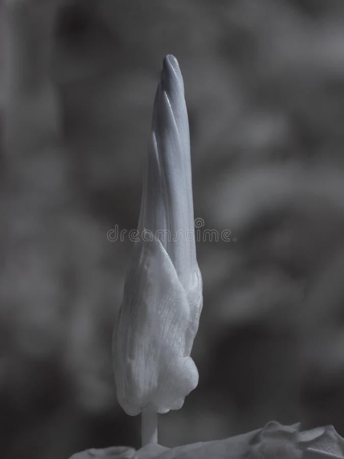 Infrared dziki mięsisty kwiat makro- obrazy royalty free